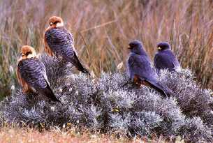 Migrating Red-footed Falcons at Kalloni Salt Pans